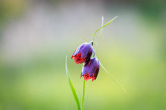 Wild violet tulip flowers Stock Image