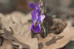 Wild violet viola flowers in the forest and oak leaves close-up stock photography