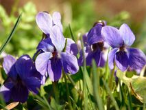 Wild violet viola on meadow Stock Image