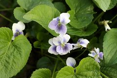 Wild violets. And leaves royalty free stock photography