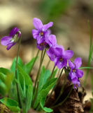 Wild violets blooming Stock Photos