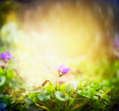 Wild violets on blurred multicolored nature garden Royalty Free Stock Photo