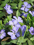 Wild violets Royalty Free Stock Photos
