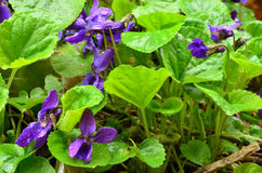 Wild violets close up view Stock Photography