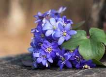 Wild violets in forest stock images