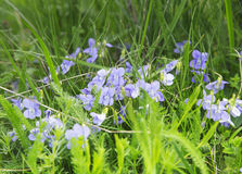 Wild Violets in the Grass Stock Photography