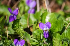 Wild violets growing in spring forest.  royalty free stock photos