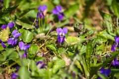Wild violets in spring forest. Wild violets growing in spring forest stock image