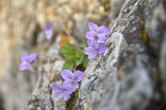 Wild violets growing between stones. Stock Photos