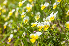 Wild violets on a mountain meadow Stock Photography