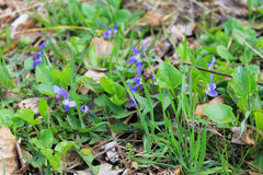 Wild violets Royalty Free Stock Images