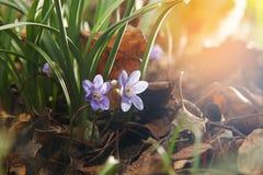 Wild violets Stock Photo