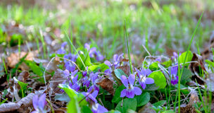 Wild violets in the spring woods. Spring forest meadow Stock Image