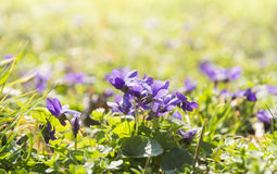 Wild violets on sunny meadow Stock Images