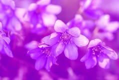 Wild violetta blommor royaltyfria foton