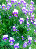 Wild violetta blommor Royaltyfri Foto