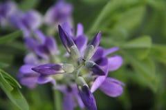Wild viooltje Stock Afbeeldingen