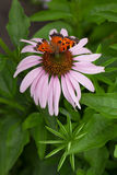 A wild vivid butterfly on a coneflower. In the garden Royalty Free Stock Image