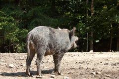 wild voronezh för ryss för områdesgaltnatur Arkivfoto