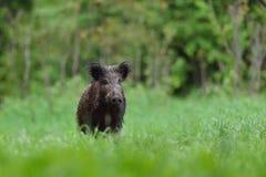wild voronezh för ryss för områdesgaltnatur Fotografering för Bildbyråer