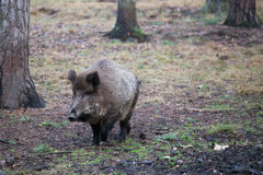 wild voronezh för ryss för områdesgaltnatur Royaltyfri Fotografi