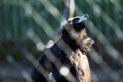 Wild vulture  in cage. Wild lonely vulture looking in the sky in cage Royalty Free Stock Image