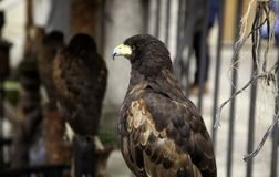 Wild Vulture Falconry. Wild vulture and eagle, falconry mammal, nature royalty free stock photos
