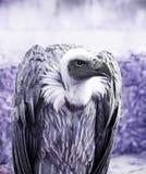 Wild vulture exhibition Stock Image