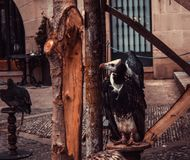 Wild Vulture Falconry. Wild vulture and eagle, falconry mammal, nature stock photos