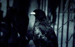 Wild Vulture Falconry. Wild vulture and eagle, falconry mammal, nature stock photo