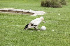 Wild Vulture In Captivity Royalty Free Stock Photography