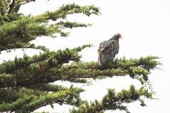 Wild vulture on a limb Stock Photo