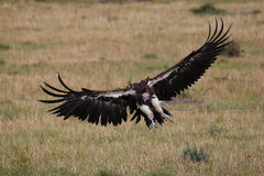 Wild vulture in Masai Mara, Kenya Royalty Free Stock Images