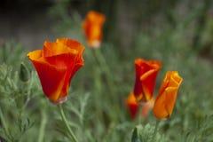 Wild, wachsen Leuchtorangemohnblumen als die Kalifornien-Staatsblume wild lizenzfreie stockbilder
