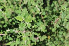 Wild wachsende Pflanze auf dem Gebiet Stockbild