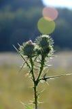 Wild wachsende Pflanze auf Sonnenaufgang Stockfoto
