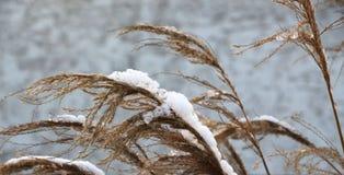 Wild wachsende Pflanzen bedeckt mit gefrorenem Schnee, kalter Winter Lizenzfreies Stockfoto