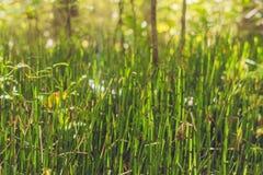 Wild wachsende Pflanzen - grüner Hintergrund von Horsetail oder von Tolkachik Equiset Lizenzfreie Stockfotos