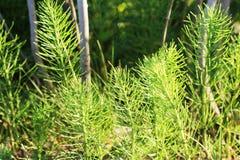 Wild wachsende Pflanzen - grüner Hintergrund von Horsetail oder von arvense Tolkachik oder des Equisetum Ackerschachtelhalm im Fr Stockfotografie