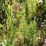 Wild wachsende Pflanzen - grüner Hintergrund von Horsetail oder von arvense Tolkachik oder des Equisetum Ackerschachtelhalm im Fr Stockfotos