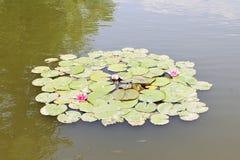 Wild wachsende Pflanzen sind blühende Seerosen in einem Teich Stockbild