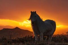 Wild walesisk ponny Royaltyfria Foton
