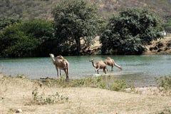 Wild walking Camel in mountains, Oman, Arabia stock images