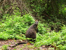 Wild Wallaby Stock Photo