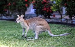 Wild Wallaby eating. Royalty Free Stock Images