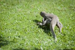 Wild waranus in chase of a prey Stock Photo