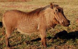 wild warthog Royaltyfri Bild