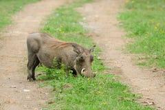 Wild Warthog, Africa Stock Photos