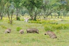 Wild Warthog, Africa Royalty Free Stock Photo