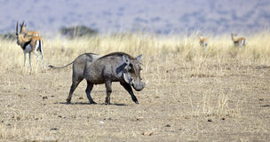 Wild warthog Royalty Free Stock Photos
